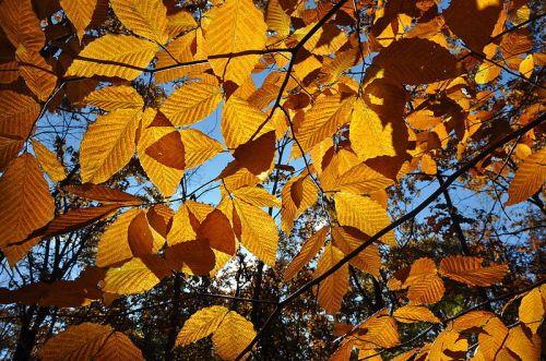 800px-fagus_grandifolia_fall_foliage_wachusett_meadow